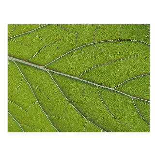 Carte Postale Photographie de macro de feuille de menthe poivrée