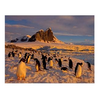 Carte Postale pingouin d'adelie, Pygoscelis Adeliae, colonie le