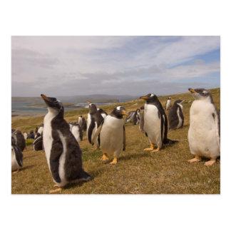Carte Postale pingouin de gentoo, Pygoscelis Papouasie, colonie