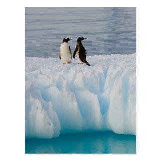Carte Postale pingouin de gentoo, Pygoscelis Papouasie, sur la