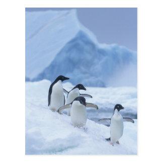 Carte Postale Pingouins d'Adelie (adeliae de Pygoscelis) sur la