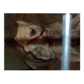 Carte Postale Plan rapproché de chameau, 1