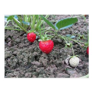 Carte Postale Plan rapproché des fraises organiques fraîches à