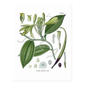 Carte Postale Planifolia de vanille