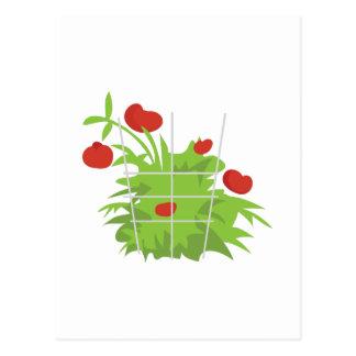 Carte Postale Plante de tomate