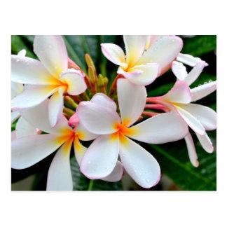 Carte Postale Plumeria blanc