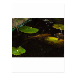 Carte Postale Poissons de Koi dans un étang de lis