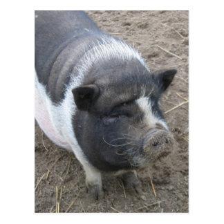 Carte Postale Porc gonflé par pot