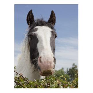 Carte Postale Portrait de cheval de Clydesdale
