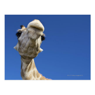 Carte Postale Portrait de girafe (Giraffa Camelopardalis)