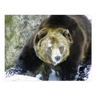 Carte Postale Portrait d'ours gris dans la neige