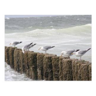 Carte Postale Postcard : Seagulls
