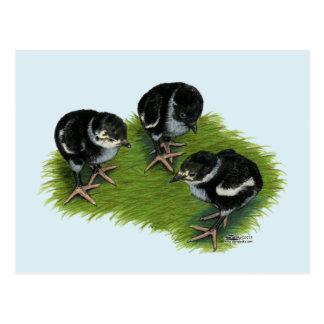 Carte Postale Poussins noirs de faisan