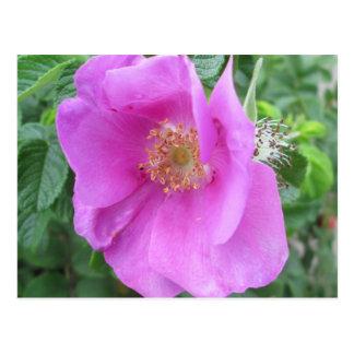 Carte Postale Prune de plage de rose rose