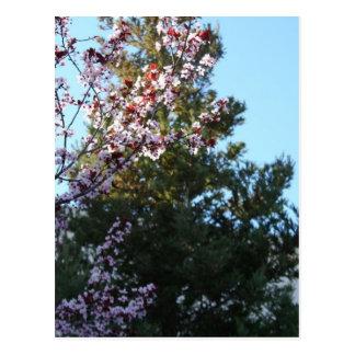 Carte Postale prune et séquoia Pourpre-leaved