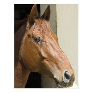 Carte postale quarte américaine de cheval