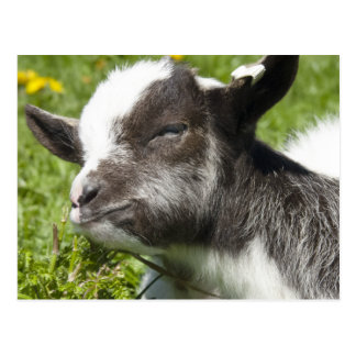 Carte Postale Race rare de la chèvre   de Bagot de bébé