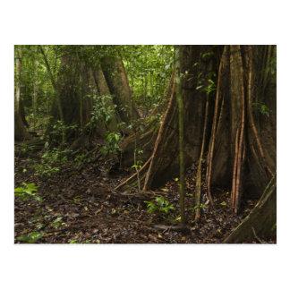Carte Postale Racines de contrefort. Forêt tropicale, Mapari
