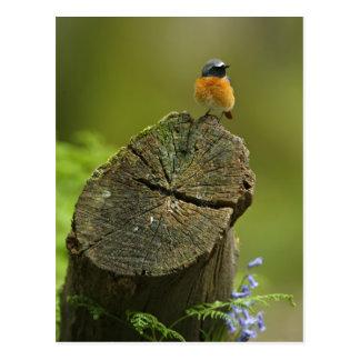 Carte Postale Redstart (phoenicurus de Phoenicurus) sur tombé