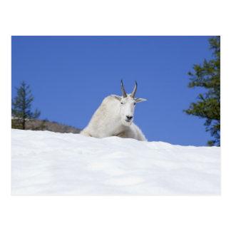 Carte Postale Région de lac Ingalls, chèvre de Billy sur la