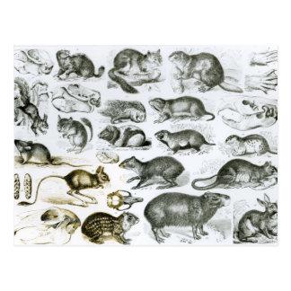 Carte Postale Rodentia-Rongeurs ou animaux de rongement