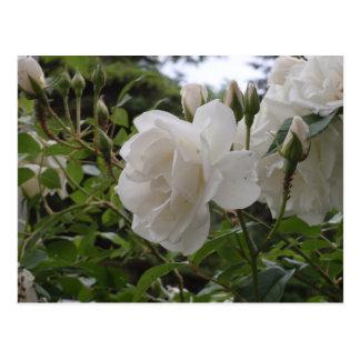 Carte Postale Rose blanc simple