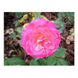 Carte Postale Rose de floraison de rose