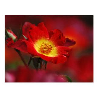 Carte Postale Rose Romance et signification