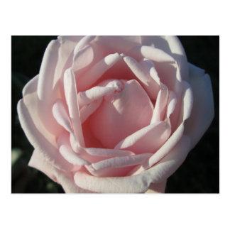 Carte Postale Rose rose ensoleillé