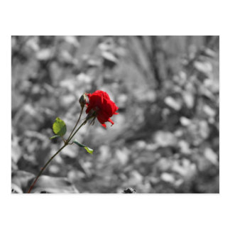 Carte Postale Rose seul de pourpre