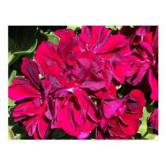 Carte Postale Rouge de fleur de géranium