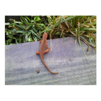 Carte Postale Salamandre