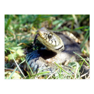 Carte Postale Serpent d'herbe