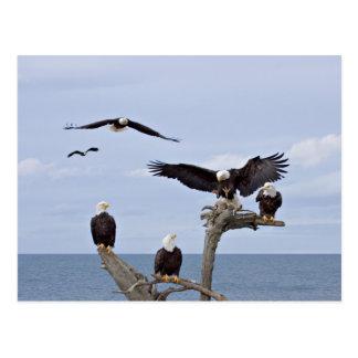 Carte Postale Six Eagles chauves (leucocephalus de Haliaeetus)