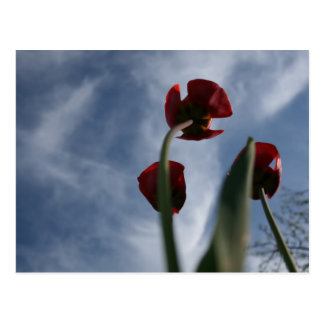 Carte Postale Soulever les tulipes