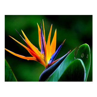 Carte Postale Strelitzia. Oiseau de fleur de paradis
