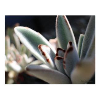 Carte postale succulente de plante