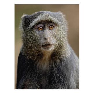 Carte Postale Sykes ou singe bleu, mitis de Cercopithecus,