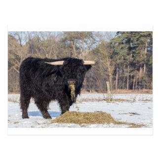 Carte Postale Taureau écossais de montagnard mangeant le foin