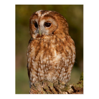Carte Postale Tawny Owl (Strix aluco)