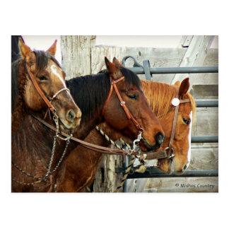 Carte Postale Têtes de cheval mises un frein