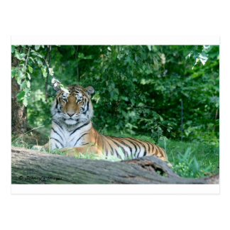 Carte Postale Tigre