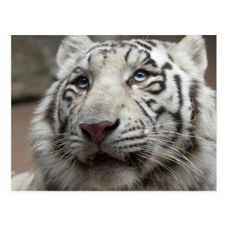 Carte Postale Tigre blanc