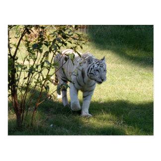 Carte Postale Tigre blanc 4657e