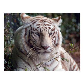 Carte Postale Tigre de Bengale blanc