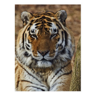 Carte Postale Tigre de Bengale, Panthera zoo du Tigre,