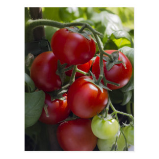 Carte Postale tomates dans le jardin