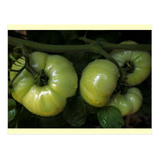 Carte Postale Tomates vertes