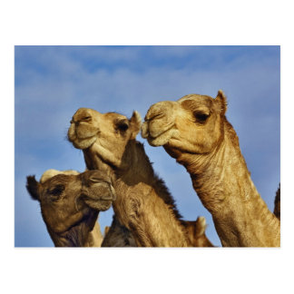 Carte Postale Trio des chameaux, marché de chameau, le Caire,