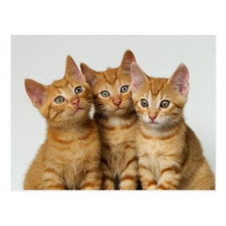 Carte Postale Trois chatons mignons de gingembre côte à côte